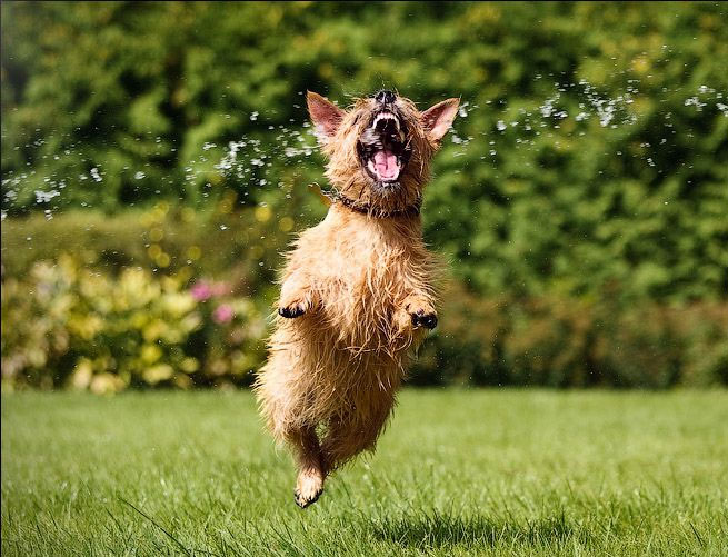 Ловим глоток воды. Жажда в прыжке собаки