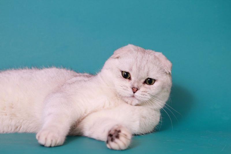 Шотландские вислоухие котята голубые и лиловые. Продажа ...