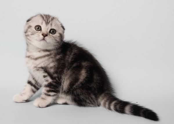 Можно ли скрещивать британских и шотландских котов