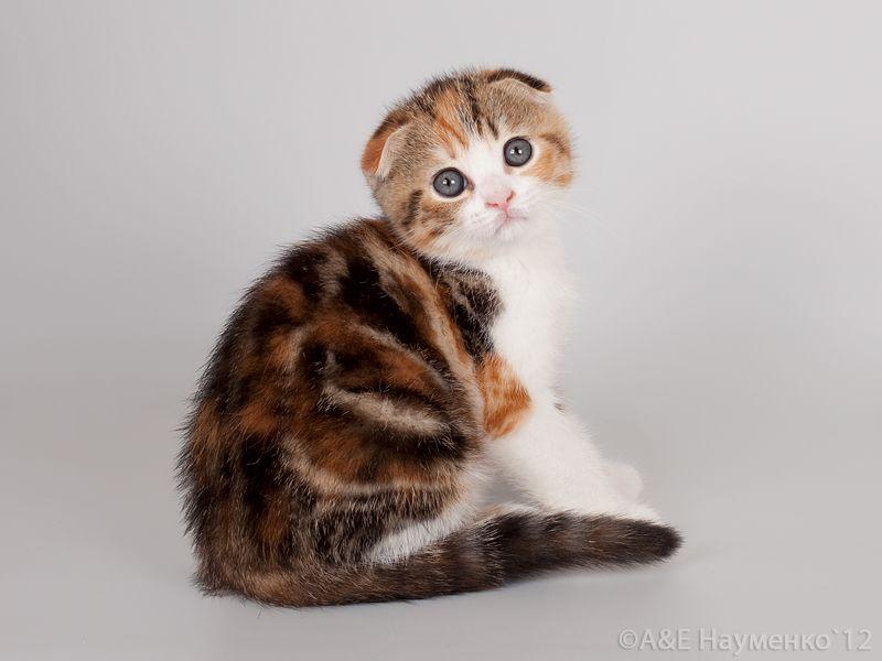 cat ear ailments